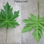 Photo of papaya leaf having 1 foot or 30 cm across in diameter.