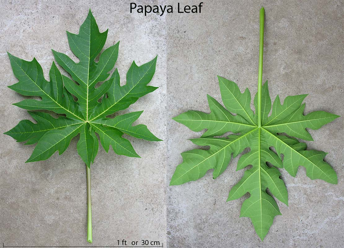 Papaya Sweet Answer to our Well Being and Health