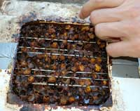 Sugarbag bees with cerumen wax pots.