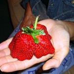 Three strawberries forming one single fruit.